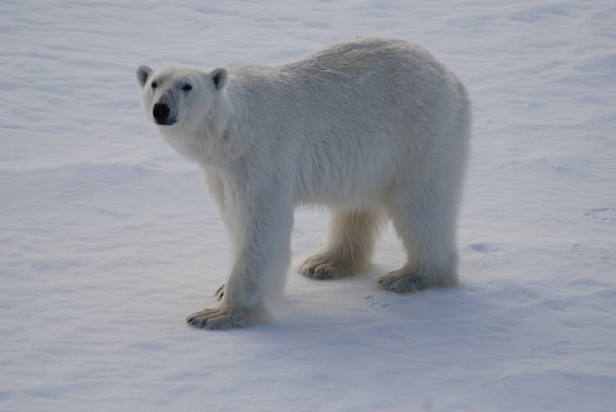 Polar bear, photo by Rick Bellingham