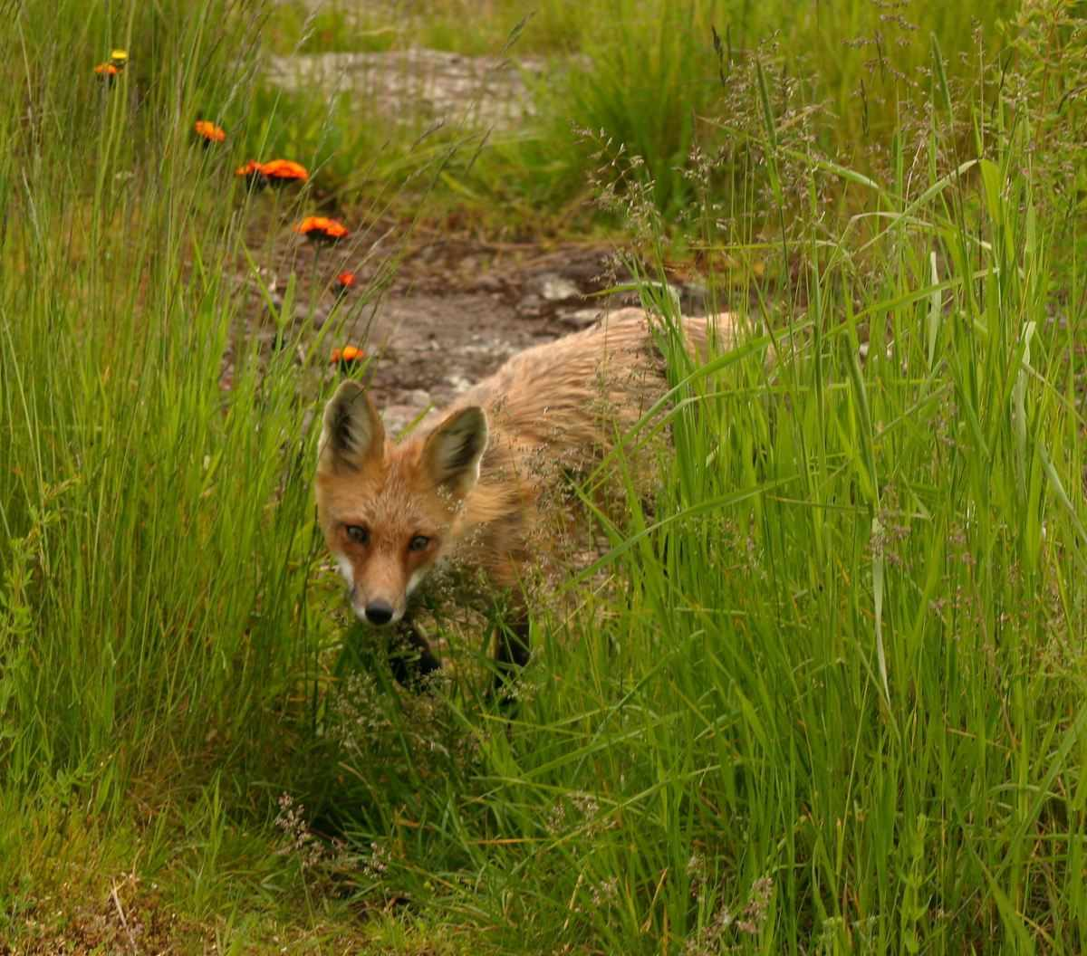 Title: Fox at Malone Bay Campground -2 | Credit: Ray Dumas | License: CC BY-SA 2.0