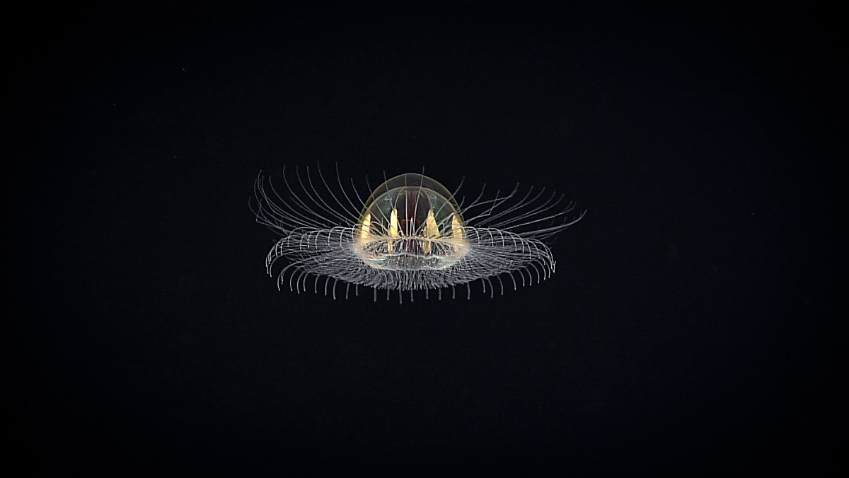 A hydromedusa | Title: Cosmic Jelly | Author: NOAA Office of Ocean Exploration and Research | Source: Flickr | License: CC BY-SA 2.0