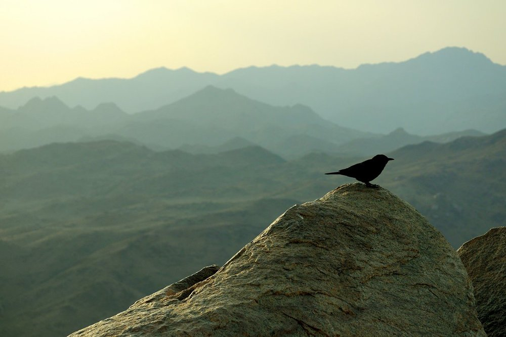 Title: Blackbird on Mount Sinai, South Sinai, Egypt | Author: David Stanek | Source: Flickr | License: CC BY-NC-ND 2.0